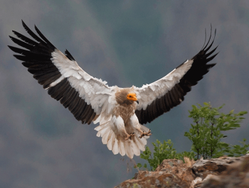 images of a striking Egyptian Vulture coming in to land