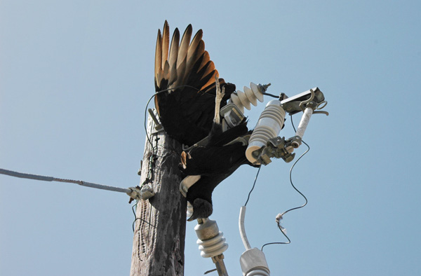 Image of a balc vulture found hanging off live wires leading to a medium voltage power pole