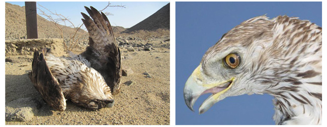 2x images of electrocuted Bonelli's Eagles, one in Sudan, one in Spain