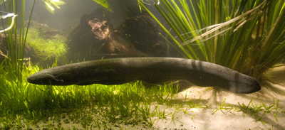 Electric Eel swimming amongst reeds