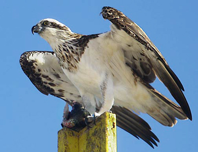 a male Osprey perching with a fish