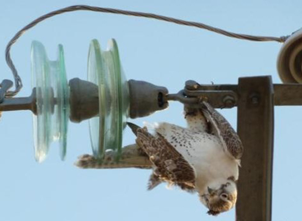 Image of an owl electrocuted
