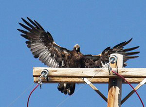 A golden eagle about to land on a power pole to perch