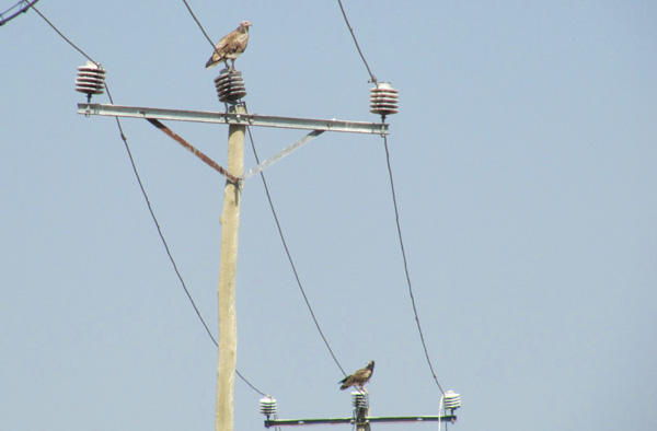 Image of 2 Egyptian Vultures perching on neighbouring power poles