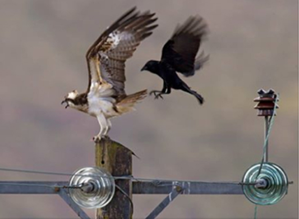 Osprey perching on Power Pole