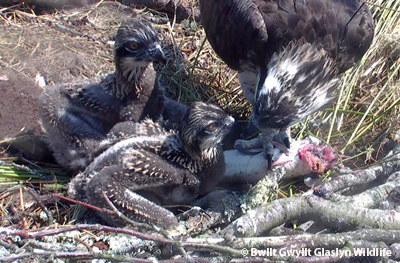 Osprey chicks pass through a reptilian stage when their feathers are in pen quills