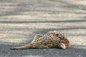 Photograph of a Pheasant roadkill