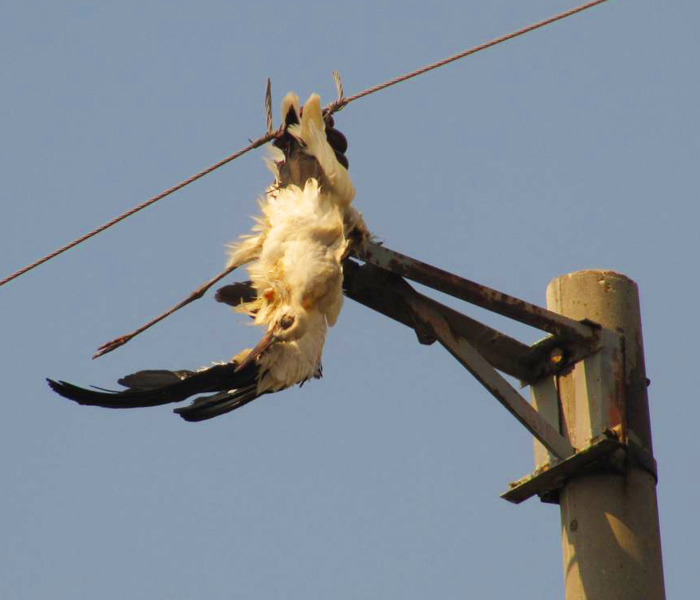 2x images of electrocuted White Stork, Bulgaria